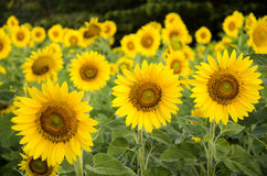 Sunflower plant on field stock photography