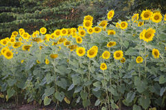 Sunflower plant on field stock photos