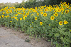 Sunflower plant on field stock photo