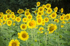 Sunflower plant on field royalty free stock photography