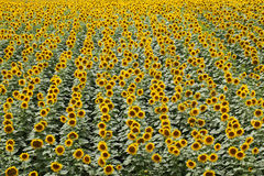 Sunflower plant field in summer Royalty Free Stock Photo