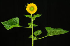 Sunflower plant with flower and leaves Stock Photography