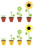 Sunflower plant growth stages, vector  Stock Photography