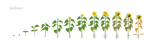 Free Sunflower Plant. Helianthus Annuus. Growth Stages Vector Illustration. Stock Images - 96555944