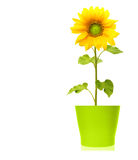 Sunflower plant isolated Royalty Free Stock Photo