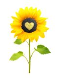 Sunflower plant isolated Royalty Free Stock Photos