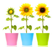 Sunflower plant isolated Stock Photos