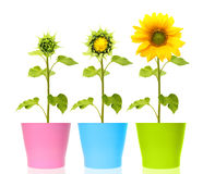 Sunflower plant isolated Stock Photo