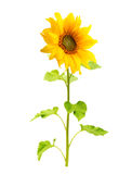 Sunflower plant isolated Stock Images