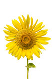 Sunflower plant isolated Royalty Free Stock Images