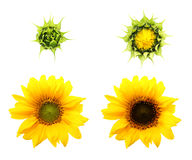 Sunflower plant isolated on white background. Royalty Free Stock Images