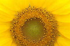 Sunflower plant macro view. Natural yellow petals and pattern agriculture plant close-up. Shallow depth of field Royalty Free Stock Photo