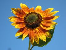 Sunflower, Plant, Nature, Outside Royalty Free Stock Photo
