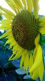 Sunflower. Plant  Near  pollen Stock Image