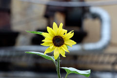 Sunflower on plant pipes background. Sunflower on district hearting pipes background Stock Photography