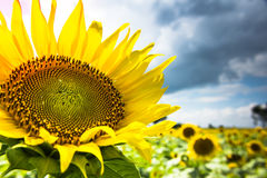 Sunflower. Plant in sky background Stock Photography