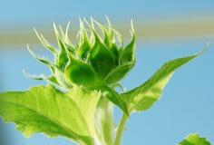 Sunflower plant Stock Photography