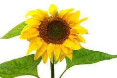 Sunflower plant on white Stock Photo