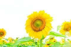 Sunflower plant white background Royalty Free Stock Photos