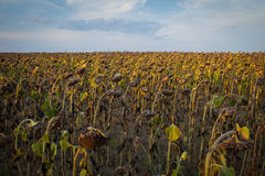Sunflower plantation Stock Photography