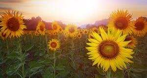 Sunflower plantation against sun set sky Royalty Free Stock Photos