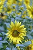Sunflower plantation with bee on flower foreground Royalty Free Stock Images