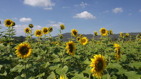 Sunflower plantation in a breez stock video footage