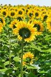 Sunflower plantation in Caucasus Royalty Free Stock Photos