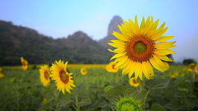 Sunflower plantation field stock footage
