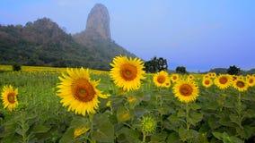 Sunflower plantation field stock video