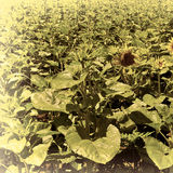 Sunflower Plantation Stock Photos
