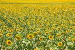 Sunflower plantation Stock Images