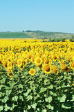 Sunflower plantation in hills of the Caucasus Royalty Free Stock Photos