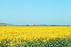 Sunflower plantation in hills in summer day Stock Images