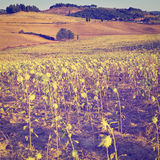 Sunflower Plantation Royalty Free Stock Images