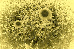 Sunflower Plantation Stock Photo