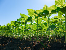 Sunflower plantation rows Royalty Free Stock Photography
