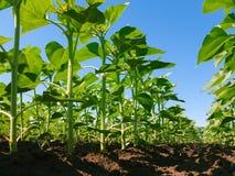 Sunflower plantation rows Stock Photo