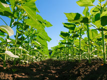 Sunflower plantation rows Stock Images