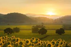 Sunflower plantation at sunrise Stock Photo