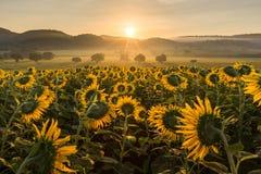 Sunflower plantation at sunrise Royalty Free Stock Photography