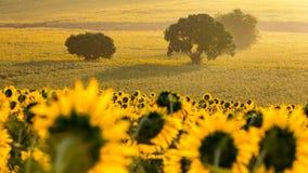 Sunflower plantation at sunrise Stock Photography