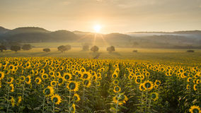 Sunflower plantation at sunrise Stock Photography