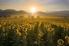 Sunflower plantation at sunrise Royalty Free Stock Image