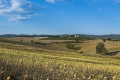 Sunflower plantation in Tuscany Royalty Free Stock Images