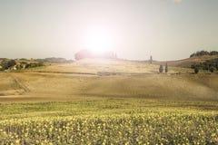 Sunflower plantation in Tuscany at sunrise. Stock Photo