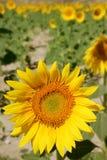 Sunflower plantation vibrant yellow flowers Royalty Free Stock Image