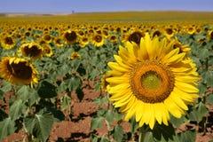 Sunflower plantation vibrant yellow flowers Stock Photo