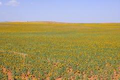 Sunflower plantation vibrant yellow flowers Stock Images