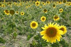 Sunflower plantation vibrant yellow flowers Stock Photography